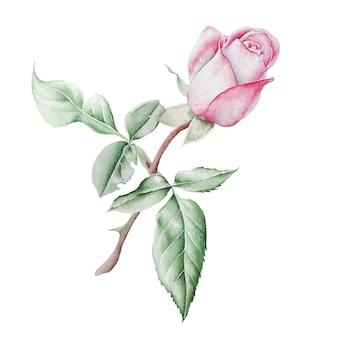 Ilustracja Z Akwarela Róży. Wyciągnąć Rękę. Premium Zdjęcia