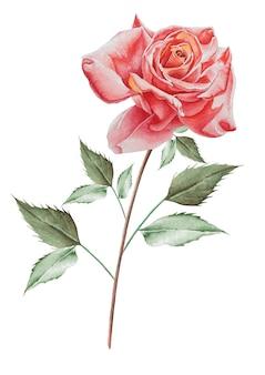Ilustracja z akwarela róży. wyciągnąć rękę.