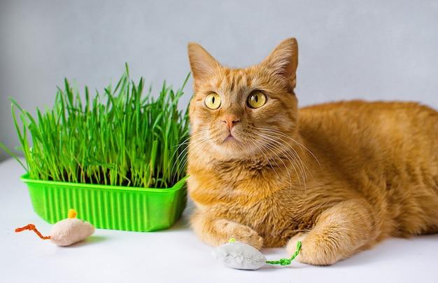 Imbir, rudy kot je zieloną trawę. zielona soczysta trawa dla kotów, porośnięty owies przydatny dla kotów.