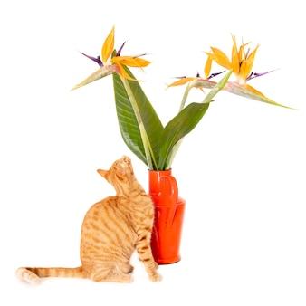 Imbirowy kot patrząc na kwiaty ptaka żurawia w wazonie.