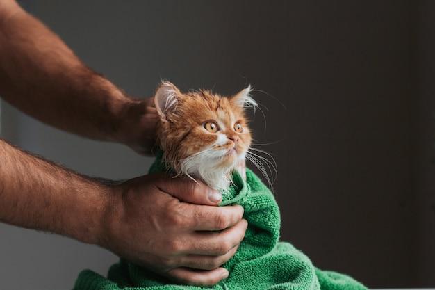 Imbirowy kotek po prysznicu owinięty w zielony ręcznik. mokry kotek po umyciu w ludzkich rękach.