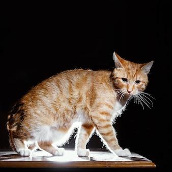 Imbirowy kotek, pomarańczowy pręgowany kot, widok z boku
