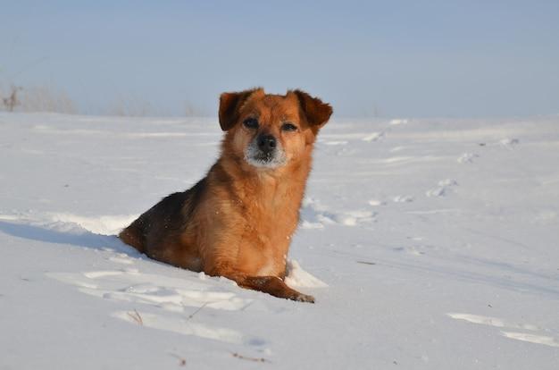Imbirowy pies w śniegu.
