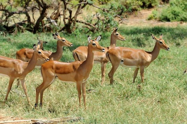 Impala w narodowym rezerwacie afryki, kenia