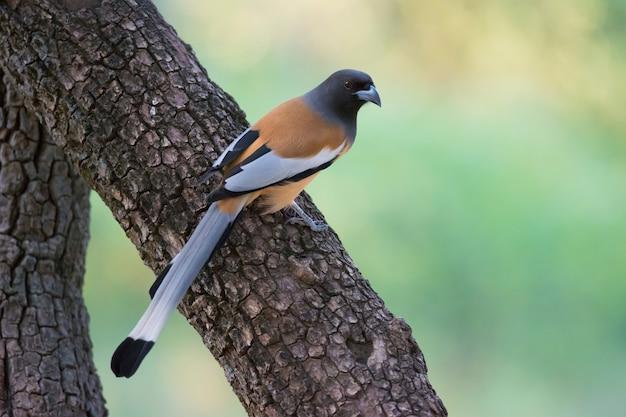 Indian treepie