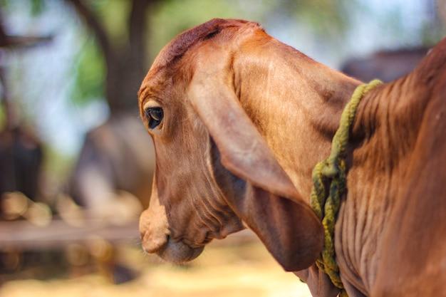 Indiańska krowa przy polem