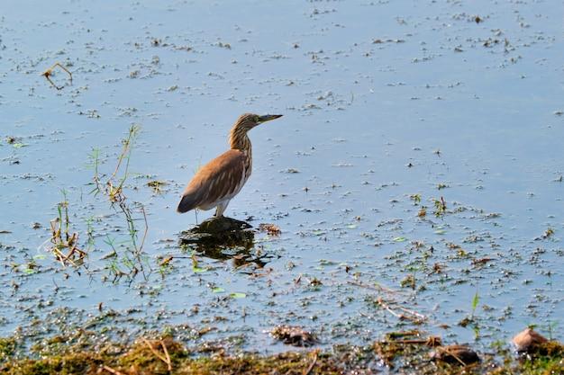 Indiańska stawowa czapla lub paddybird ardeola grayii w jeziorze