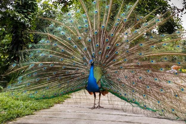 Indiański błękitny peafowl
