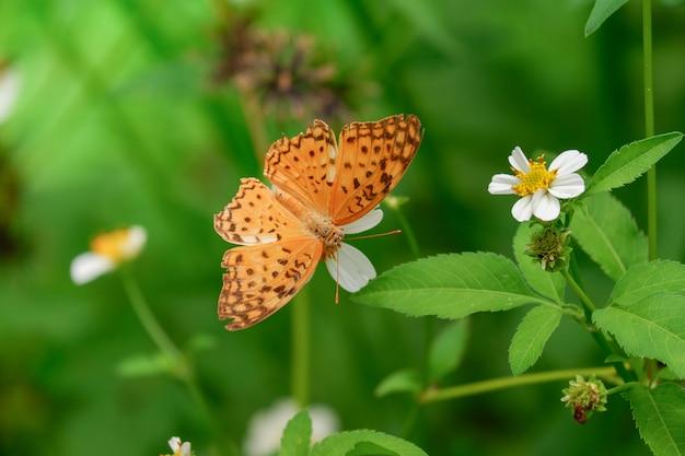 Indiański fritillary pomarańczowy motyl na białym kwiacie