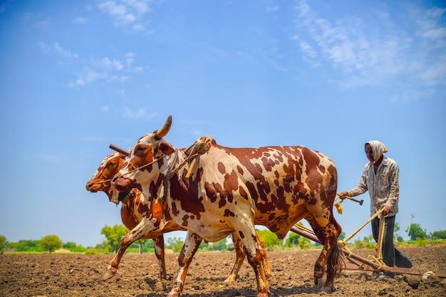 Indiański rolnik pracuje z bykami przy jego gospodarstwem rolnym