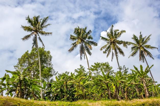 Indonezja. miejsce wiecznie zielonego lasu tropikalnego. spojrzenie z dołu na cztery palmy kokosowe. błękitne niebo i chmury
