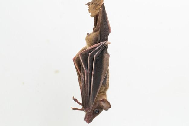Indonezyjski krótkopłosy nietoperz owocowy cynopterus titthaecheilus na białym tle