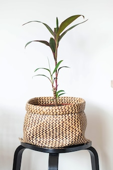 Indoor zielona roślina w doniczce z wikliny. dekorowanie przestrzeni życiowej zielonymi roślinami. roślina domowa. skopiuj miejsce. wysokiej jakości zdjęcie