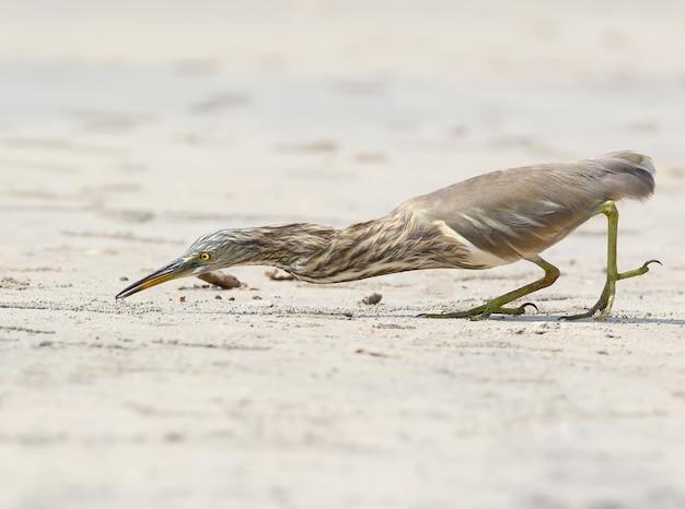 Indyjska czapla błotna łapiąca małego kraba na plaży.
