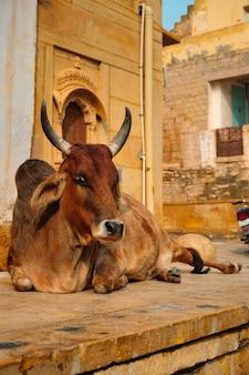 Indyjska krowa odpoczywa na ulicy