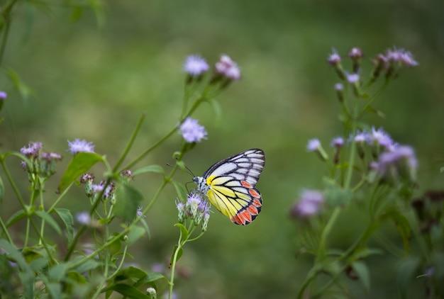 Indyjski motyl jezebel