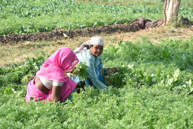 Indyjski pracownik gospodarstwa zbierający zieloną kolendrę i trzymając pęczek w ręce w gospodarstwie ekologicznym.