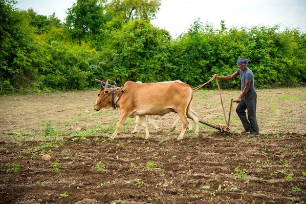 Indyjski Rolnik Pracujący W Tradycyjny Sposób Z Bykiem Na Jego Farmie, Scena Rolnictwa Indian. Premium Zdjęcia