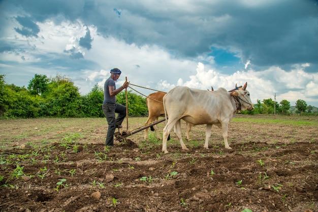 Indyjski rolnik pracujący w tradycyjny sposób z bykiem na jego farmie, scena rolnictwa indian.
