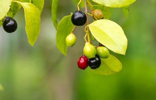 Indyjskie czerwone i czarne nasiona sandałowca, album santalum, jedna z najdroższych roślin na świecie, słynąca ze swojego zapachu