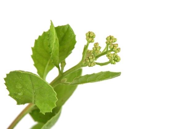Indyjskie pcheł błotny lub pluchea indica kwiaty na białym tle.