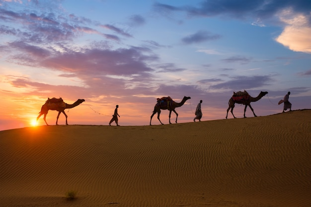 Indyjskie wielbłądy beduińskie z sylwetkami wielbłądów na wydmach pustyni thar o zachodzie słońca.