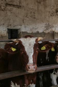 Intensywna hodowla cieląt, detal cieląt w gospodarstwie hodowanym do produkcji mięsa