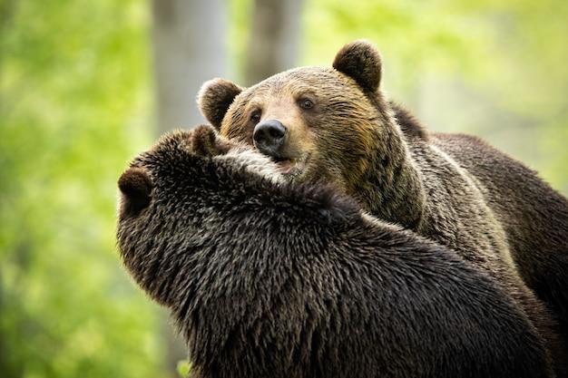 Interakcja między samcem a samicą niedźwiedzia brunatnego podczas zalotów