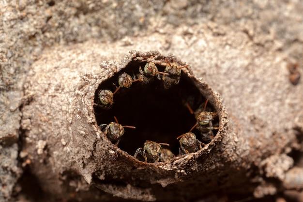 Iraã ± nannotrigona testaceicornis kolonia gniazdowa - pszczoły bezżądłowe