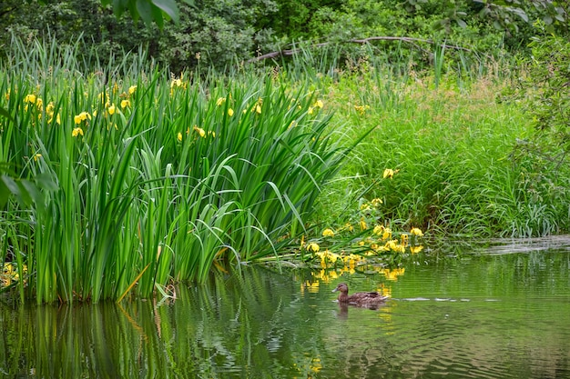 Irys bagno na stawie, staw z żółtymi kwiatami, żółtą tęczówkę, roślinność bagienną