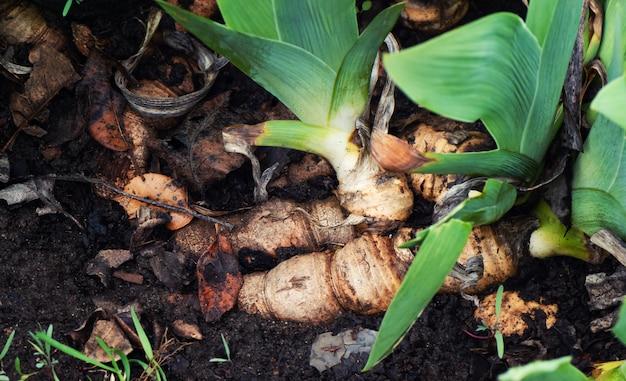 Irysowy kwiatu korzeń w letnim ogródzie, zamyka up.