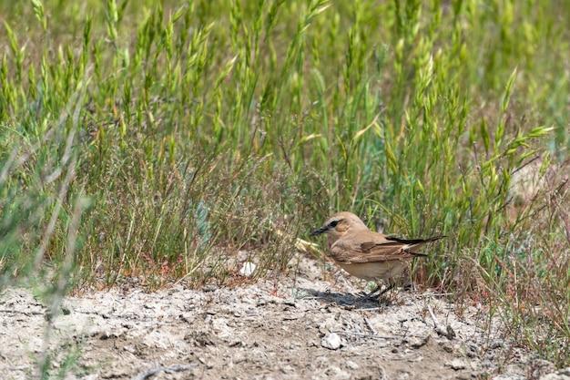 Isabelline wheatear ptak w dzikiej przyrodzie