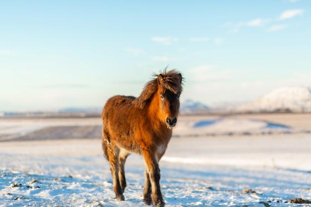 Islandzki koń chodzi w śniegu w zimie. islandzki zimowy krajobraz