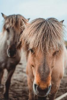Islandzki koń w malowniczej naturze islandii.