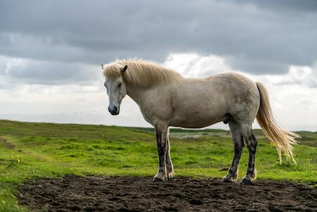Islandzki koń w malowniczej przyrodzie islandii