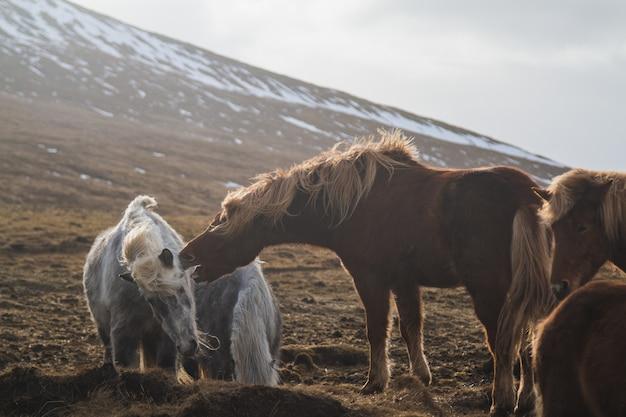 Islandzkie konie bawiące się ze sobą na polu otoczonym końmi na islandii