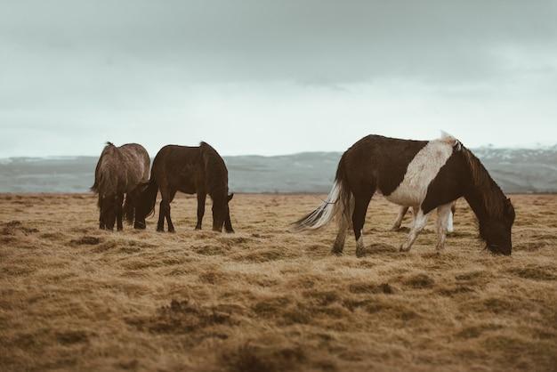 Islandzkie konie biegną za darmo