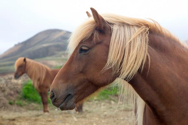 Islandzkie konie na tle górskiego krajobrazu
