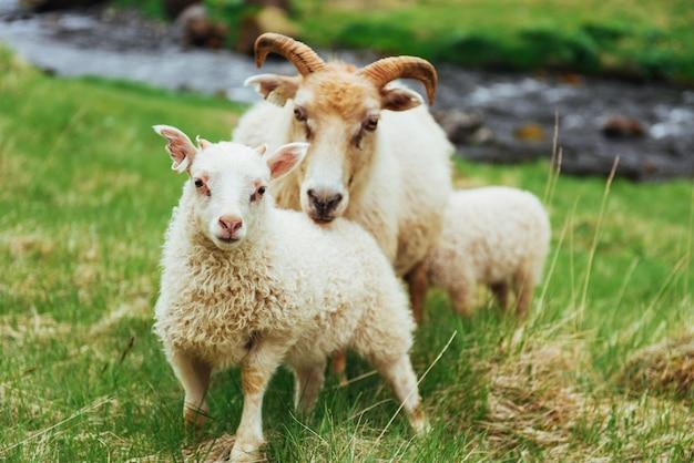 Islandzkie owce. fantastyczny widok na wodospad w parku narodowym