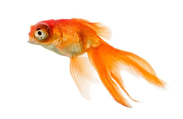 Islolated na białym tle widok z boku pływania goldfish
