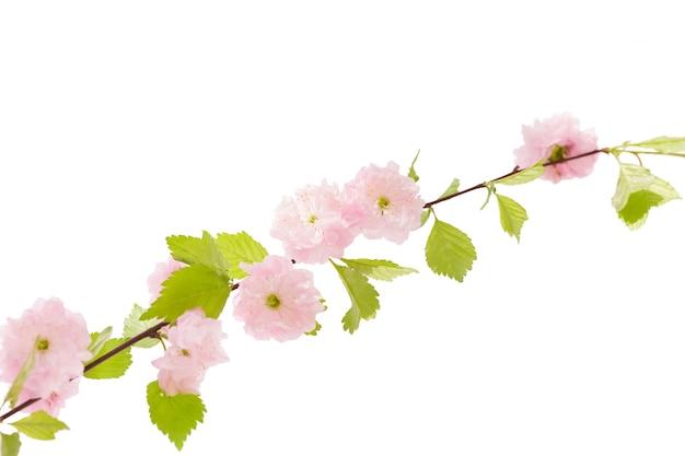Isolatet gałąź sakura na białym tle