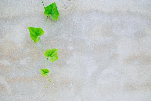 Ivy gurda na szarej betonowej ścianie. tło zielony charakter winorośli z miejsca na tekst