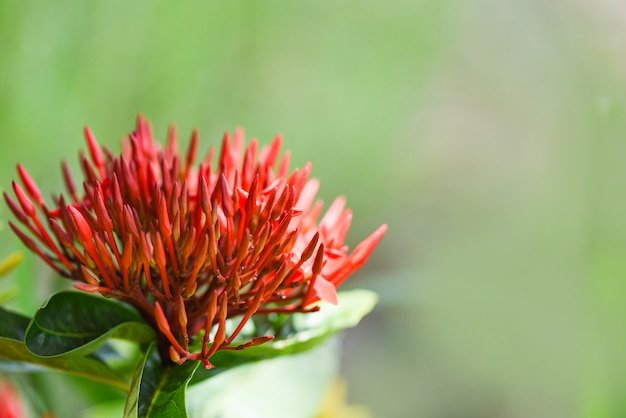 Ixora kwiat czerwony kwitnący w ogrodzie piękna przyroda zielone tło chinensis ixora coccinea
