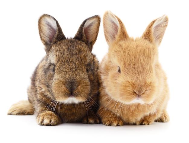 Izolowane obraz dwóch królików bunny