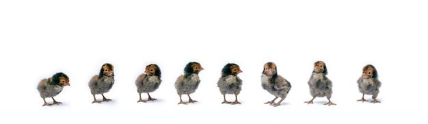 Izolowane śliczne czarne brązowe baby appenzeller chicks ustawione w rzędzie na białym jasnym świetle studyjnym.