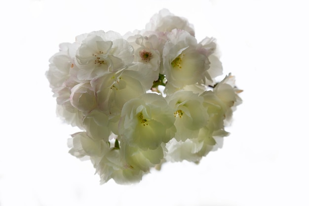 Izolowanie kwiatów. kwitną kwiaty wiśni. białe kwiaty na gałęzi wiśniowego drzewa. kwiatowe tło, wiosna