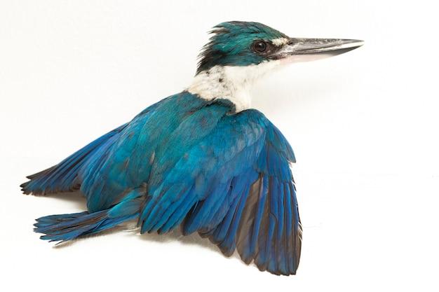 Izolowany ptak zimorodka białoczelnego (todiramphus chloris)