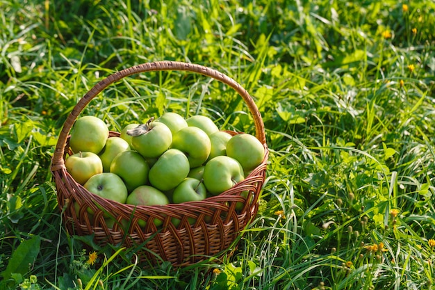 Jabłka antonovka