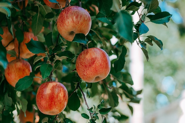 Jabłka ekologiczne zwisające z gałęzi drzewa w sadzie jabłkowym