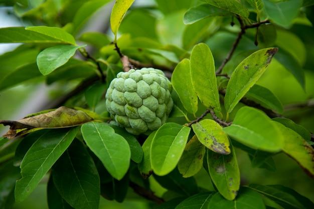 Jabłka kremowe lub jabłka cukrowe lub annona squamosa linn. rośnie na drzewie.
